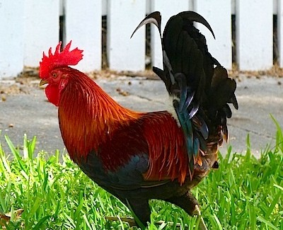 The Chickens of Key West