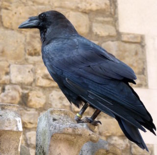 Cruise Trivia: Why is this raven famous & where does it live